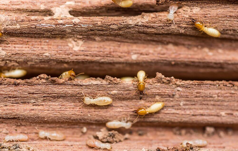 Termites in Fort Lauderdale Florida