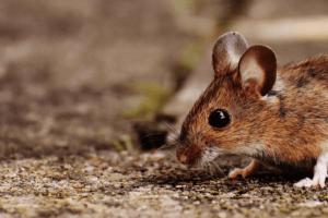 Mouse Exterminator Miami