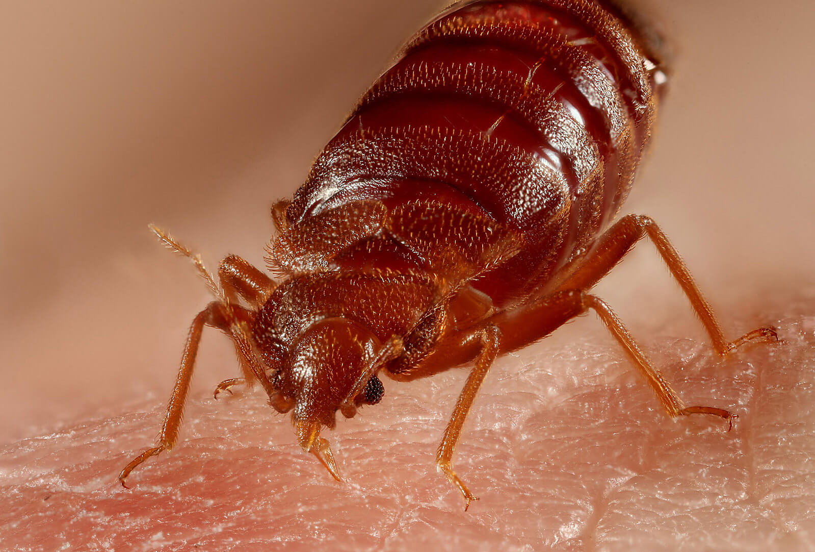 Bed Bugs Fort Lauderdale Florida